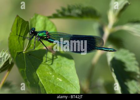 Male Banded Demoiselle Calopteryx splendens - Stock Photo