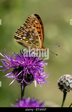 Dark Green Fritillary Butterfly Argynnis aglaja - Stock Photo