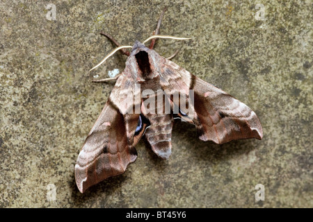 Eyed Hawk-moth Smerinthus ocellata - Stock Photo