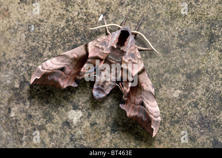Eyed Hawk-moth Smerinthus ocellata - Stock Photo