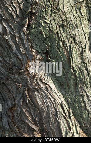 Soft maple tree trunks - Stock Photo