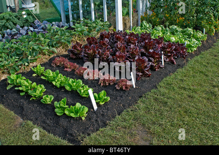 Growing little gem lettuces at home in a kitchen garden Stock Photo ...