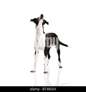 Beautiful mixed breed dog, over white background - Stock Photo