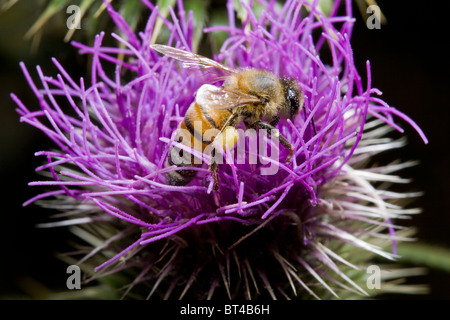 bee taking nectar from thistle flower - Stock Photo