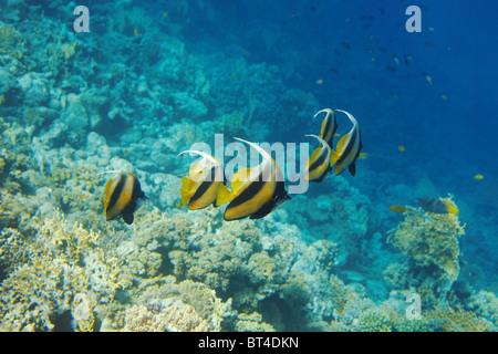 Shoal of butterfly fish - Heniochus diphreutes, Red Sea, Sinai, Egypt. - Stock Photo