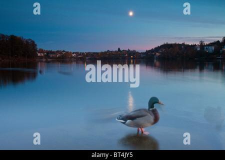 Mallard at nightfall in Nesparken by the lake Vansjø, Moss kommune, Østfold fylke, Norway. - Stock Photo