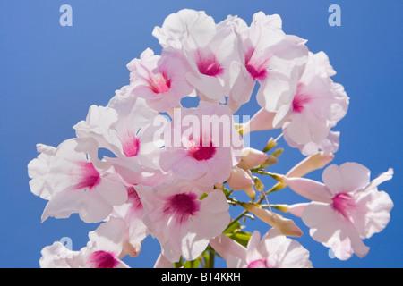 The bower vine Pandorea jasminoides in flower against a blue sky Stock Photo