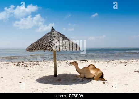 Camel resting in the shade under sun umbrella on White sand beach. Taken Diani beach Kenya - Stock Photo