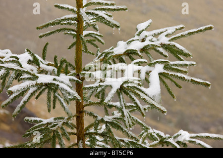 Norway Spruce tree covered with light snow and frost, high in the Fagaras Mountains, southern carpathians, Romania - Stock Photo