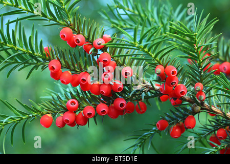 Yew tree red berries on a twig Taxus baccata - Stock Photo