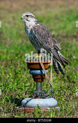 Saker Falcon (Falco cherrug) at the birds of prey show and competition - Stock Photo