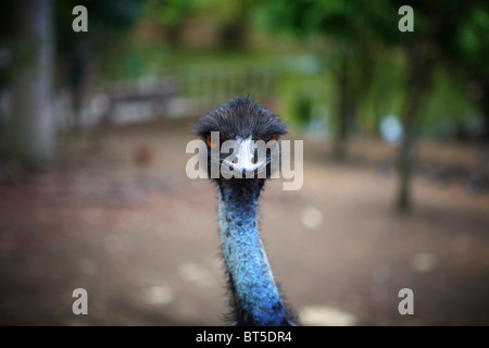 Close up of an Ostriches face looking straight at the camera - Stock Photo