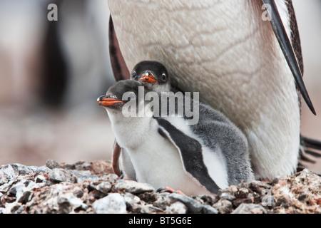 Gentoo penguin adult and chicks, Port Lockroy, western Antarctic Peninsula. - Stock Photo