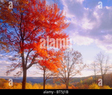 Sugar Maple at Sunset, Alleghany State Park, Appalachian Mountains, New York, Acer saccharum - Stock Photo