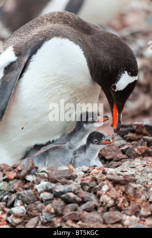 Gentoo penguin adult and two chicks at the colony on Cuverville Island, western Antarctic peninsula. - Stock Photo