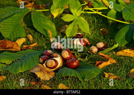 Conkers from horse chestnut tree (aesculus hippocastanum) England UK United Kingdom GB Great Britain - Stock Photo