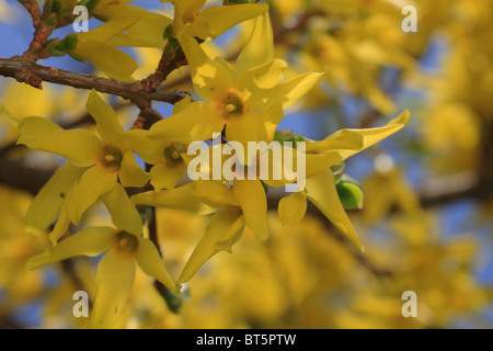 Winter Forsythia (Forsythia x intermedia) flowering in early Spring. Garden shrub. - Stock Photo