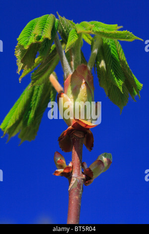 Spring leaves of Horse Chestnut (Aesculus hippocastanum) unfurling. Powys, Wales. - Stock Photo