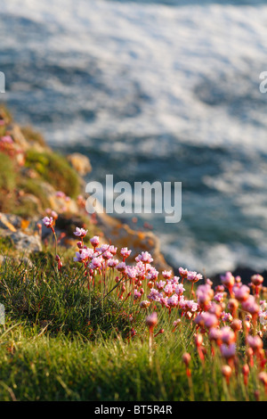 Thrift (Armeria maritima) flowering on the cliff tops near Worms Head. The Gower, Wales. - Stock Photo