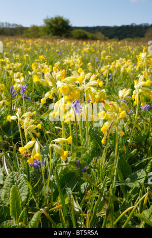 Cowslips (Primula veris) flowering in a meadow. Oxwich, Gower, Wales. May. - Stock Photo