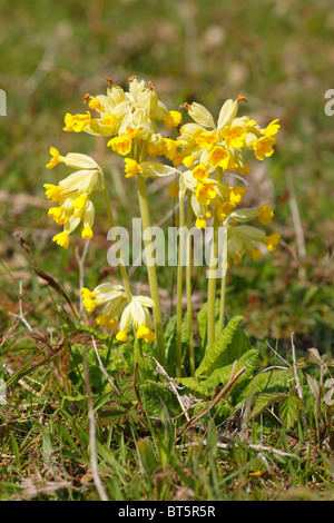 Cowslips (Primula veris) flowering in a meadow at Oxwich National Nature Reserve. The Gower, Wales. - Stock Photo