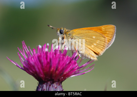 Large Skipper butterfly (Ochlodes venatus) on a Mrsh Thistle flower. Powys, Wales. - Stock Photo