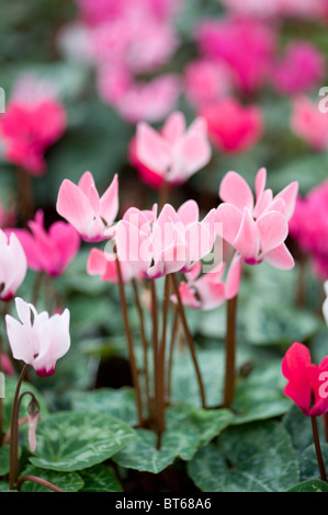 cyclamen flowers in autumn - Stock Photo