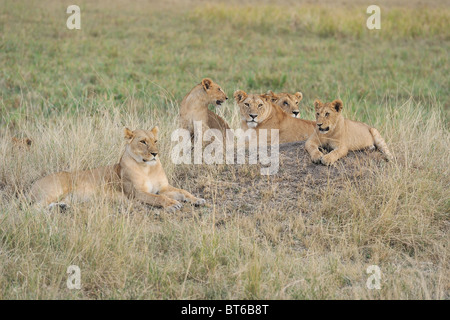 East African lion - Massai lion (Panthera leo nubica) group of females and cubs resting on the ground - Stock Photo