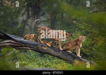 Lions sitting on a fallen tree trunk in Lake Nakuru, Kenya - Stock Photo