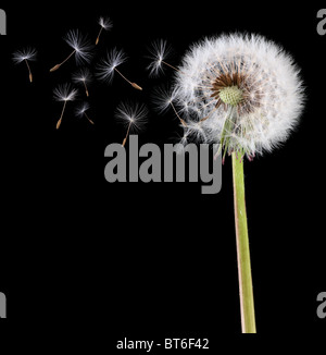 Dandelion seeds in the wind - Stock Photo