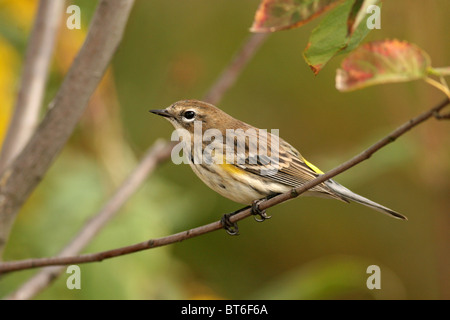 'Myrtle' yellow-rumped warbler perched on branch - Stock Photo