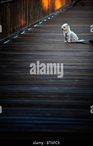 White dog on dock - Stock Photo