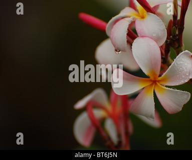 Plumeria in the Rain - Stock Photo