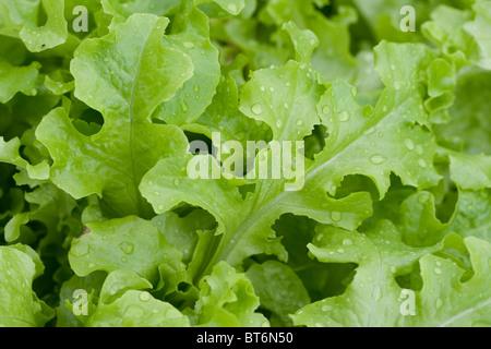 Fresh Green Garden Lettuce - Stock Photo