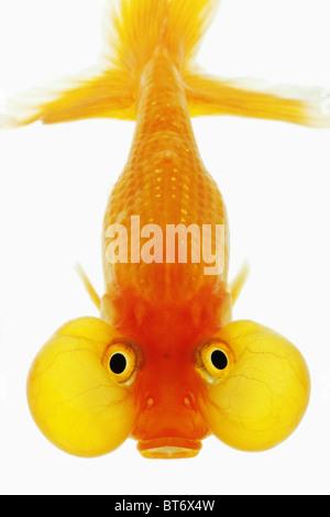 Bubble Eye goldfish Studio shot against white background. - Stock Photo