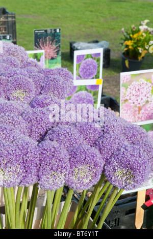 Purple Allium flowers at the market outdoor - Stock Photo