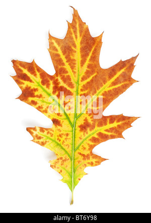 Yellow-red autumn leaf isolated on white background - Stock Photo
