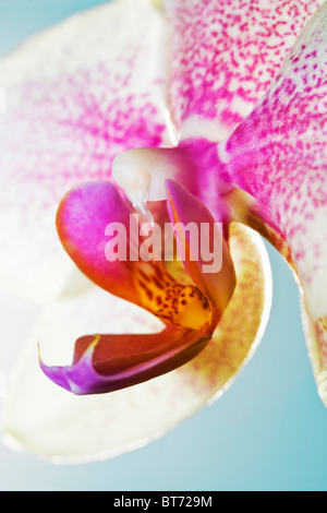 Moth Orchid,Phalaenopsis. - Stock Photo