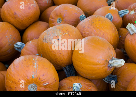 Pumpkins for sale in Stamford CT USA - Stock Photo