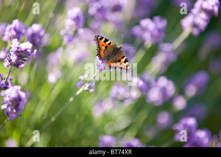 A tortoiseshell butterfly on lavender - Stock Photo