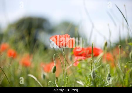 A red poppy flower in a field