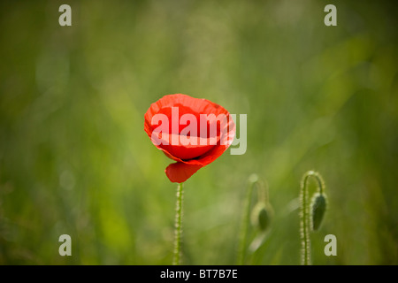 A red poppy flower - Stock Photo