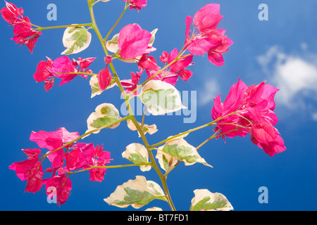 Bougainvillea photographed from below; a nice variegated cultivar. - Stock Photo