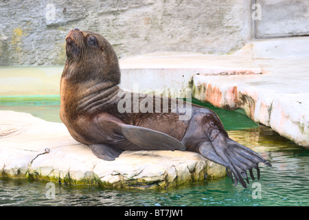 South American Sea Lion male (Otaria flavescens), also called Southern Sea Lion and Patagonian Sea Lion - Stock Photo