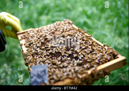Frame of honey bees from a beehive being inspected by a beekeeper - Stock Photo