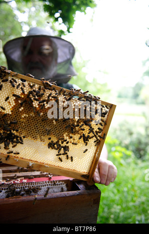 man in protective clothing holding up a frame of honey bees from a hive to inspect it - Stock Photo