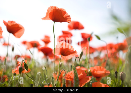Red poppies in a field - Stock Photo