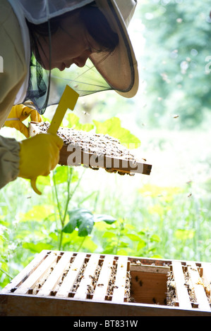 Woman in protective clothing checking a beehive, with frame of bees and flying bees - Stock Photo