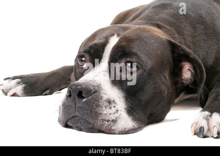 Portrait of the american staffordshire terrier. Isolated on white - Stock Photo