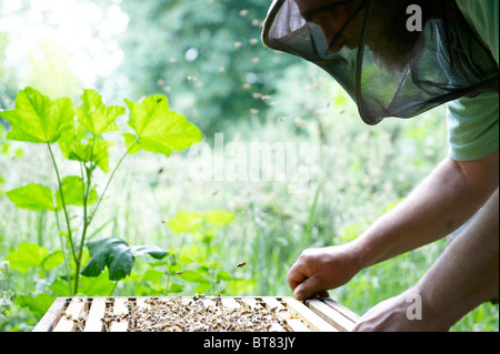 Beekeeper checking an open beehive with flying bees. - Stock Photo